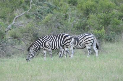 Stripes and shrubs - Zebra grazing at Kruger National Park, South Africa