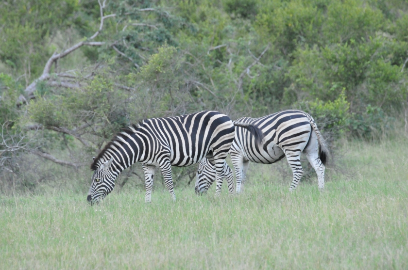 Stripes and shrubs - Zebra grazing at Kruger National Park, South Africa