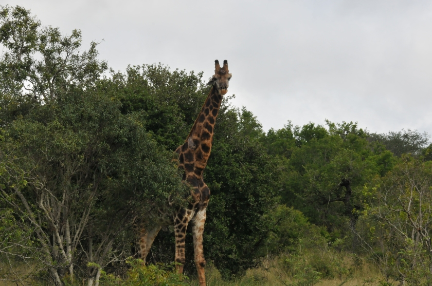 A tall story - Giraffe at Kruger National Park, South Africa