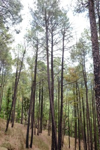 The pine forest, Mussoorie, Uttarakhand, India