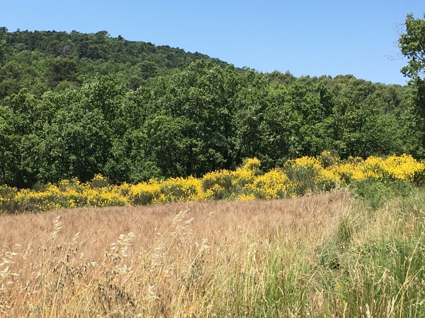 Wildflowers along the drive from Gordes to Sault